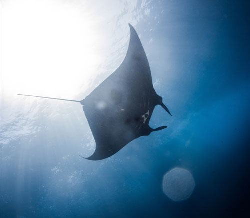 Diving Lembongan: Manta Ray