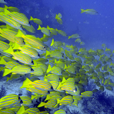 Fun Diving in Lembongan - Snapper
