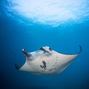 Manta Ray while Scuba Diving in Lembongan