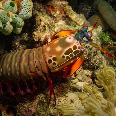 Fun Diving in Lembongan - Mantis Shrimp