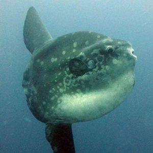 Mola - Diving Nusa Lembongan