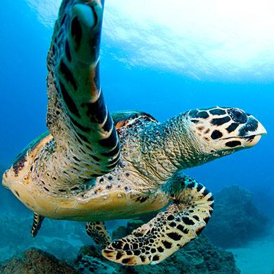 Visit Lembongan - Turtle
