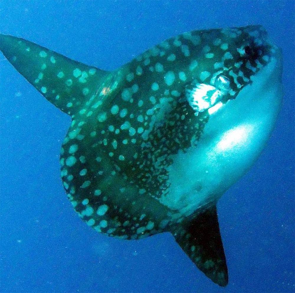 Diving Lembongan: Mola