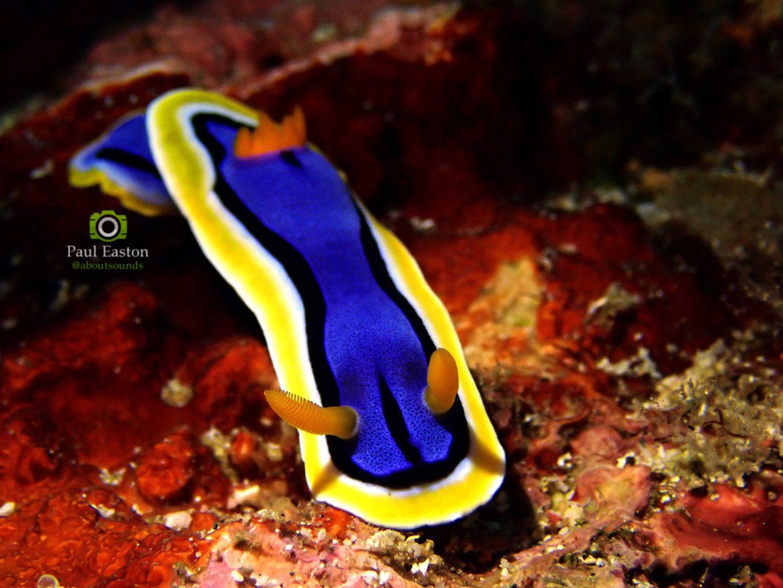 Nudibranch - About Lembongan