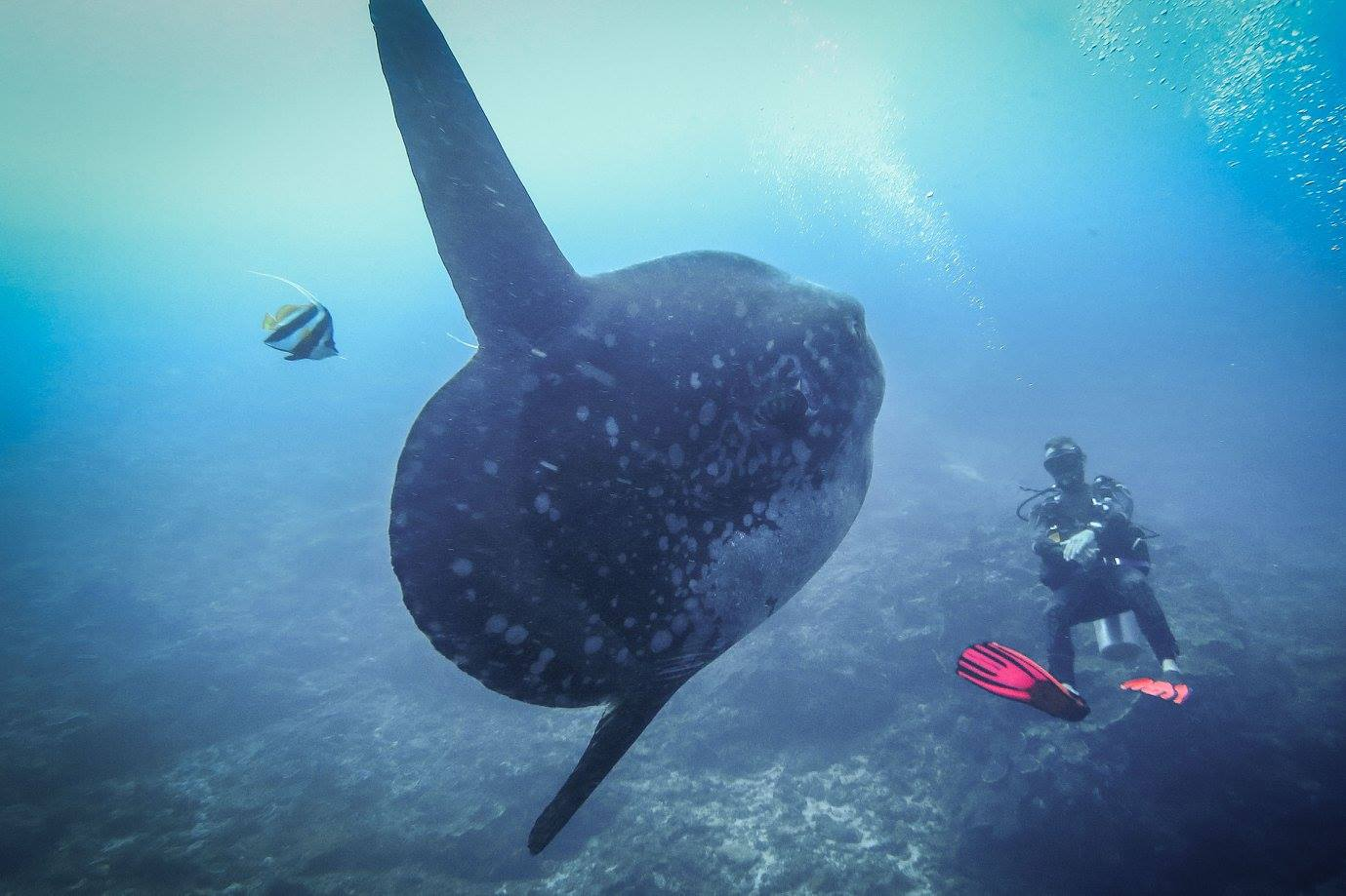 Diver and mola