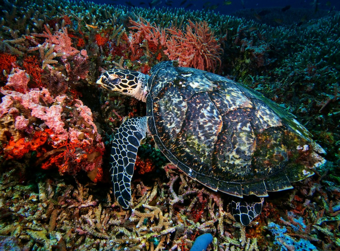 Underwater Photography: Turtle
