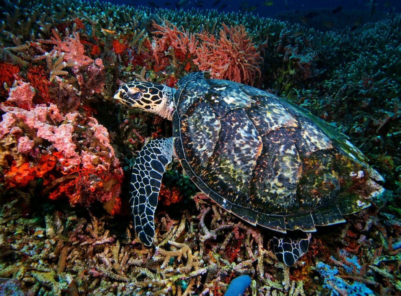 Christmas Diving - Turtle