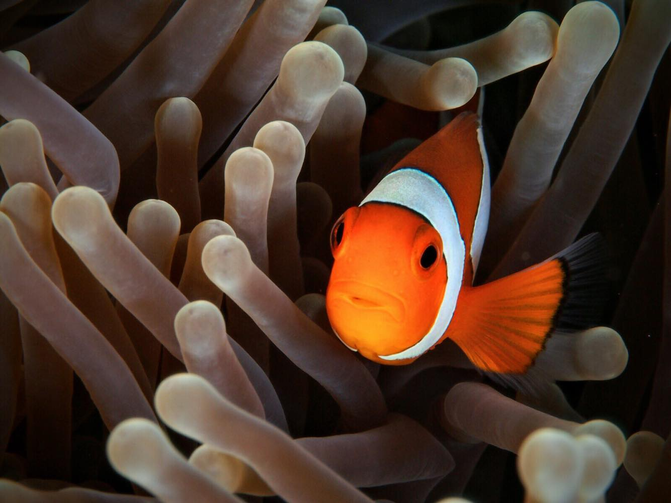 Underwater Photography: Clown Fish