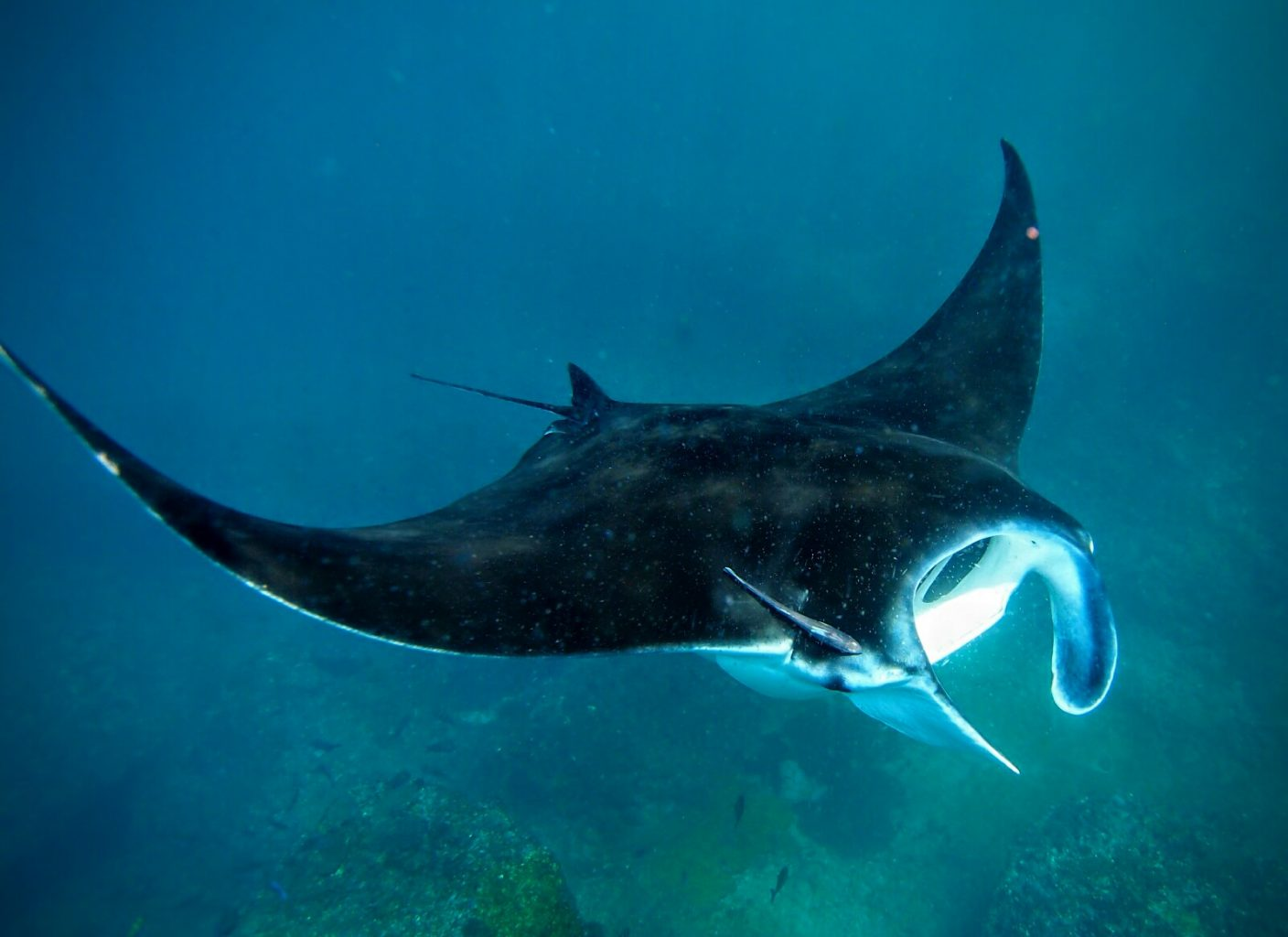 Underwater Photography: Manta Ray