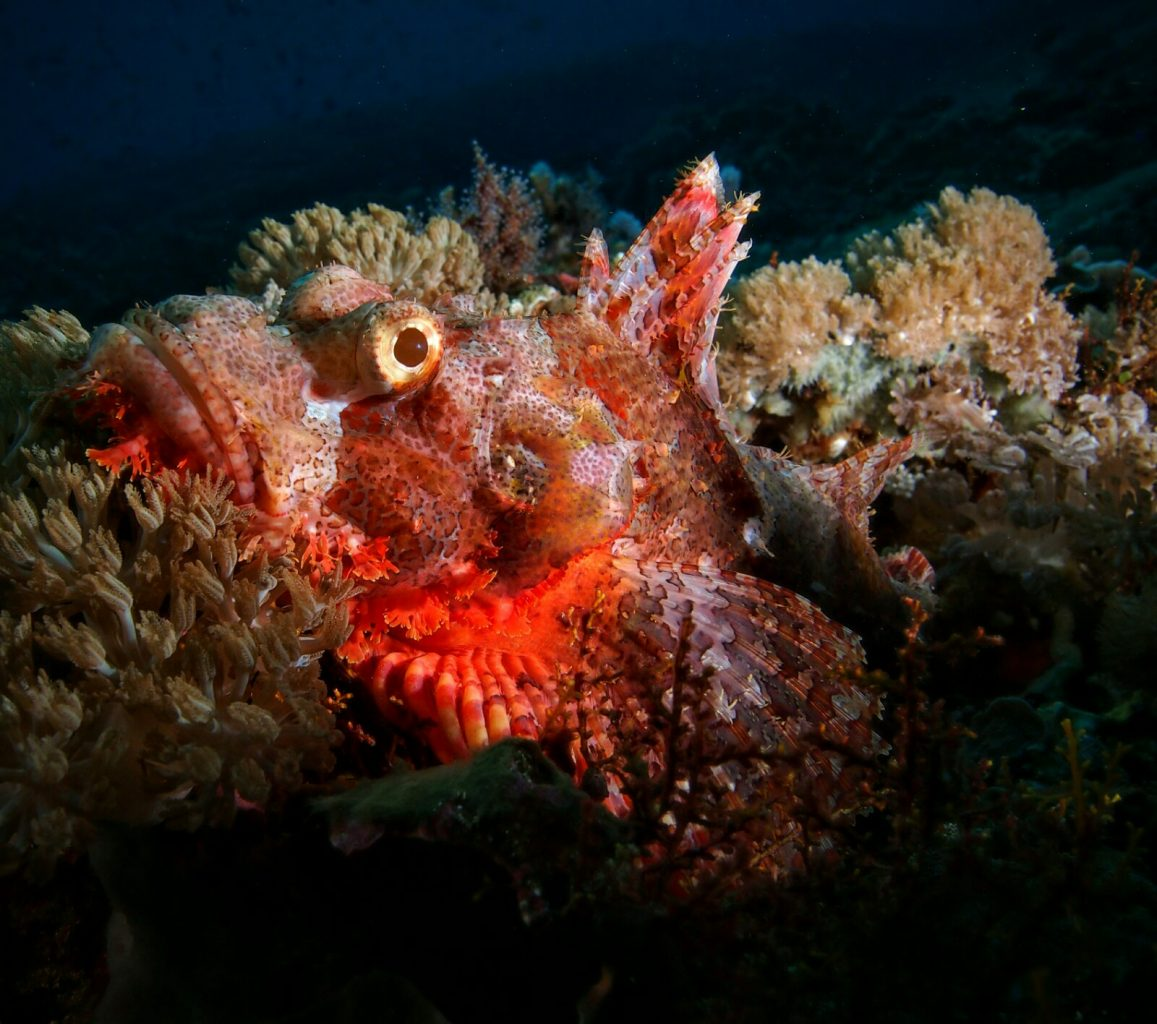 Underwater Photography: Scorpion Fish
