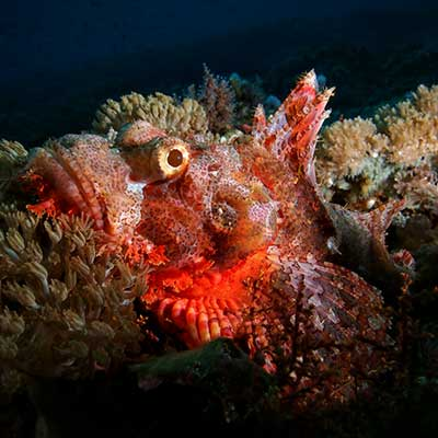 Fun Diving in Lembongan - Scorpion Fish