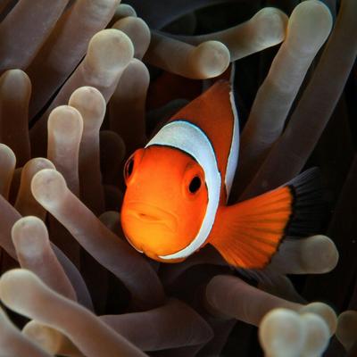 Diving in Lembongan - Clown Fish (Nemo)