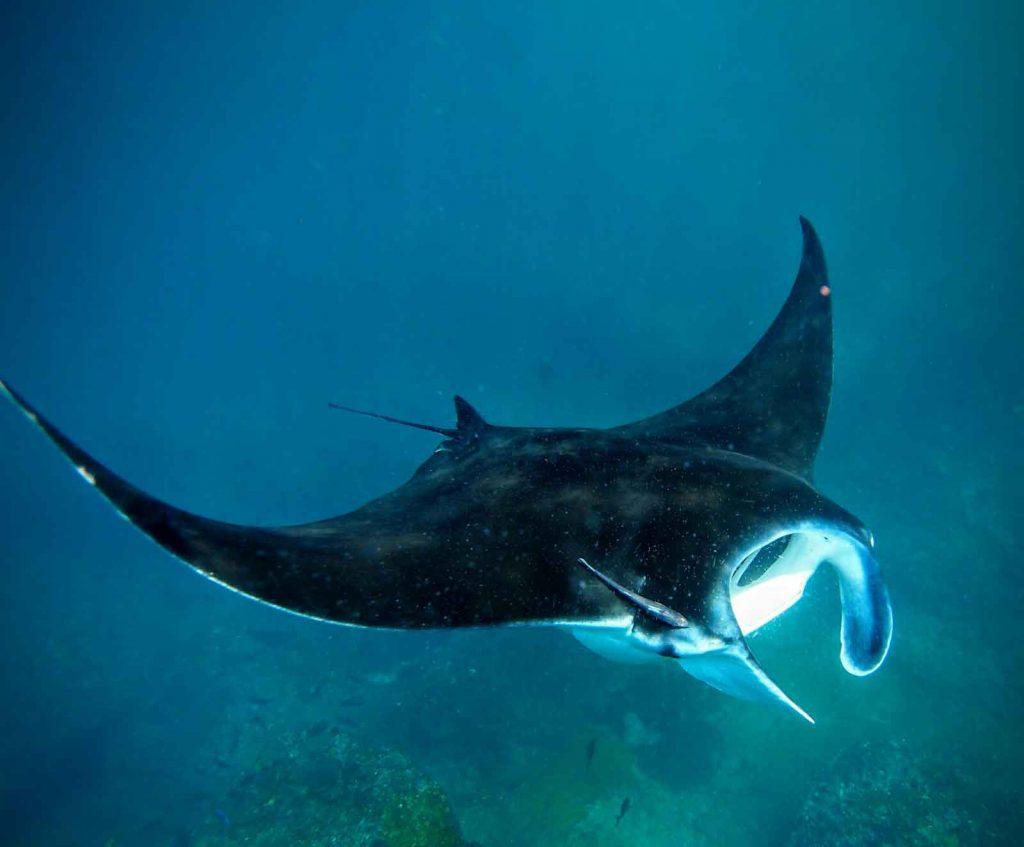 Manta rays in Lembongan