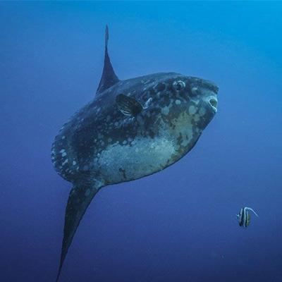 Diving in Lembongan - Mola (Sun Fish)